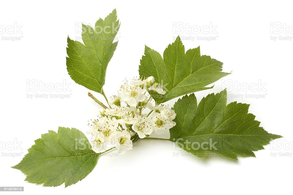 Hawthorn branch with flowers stock photo