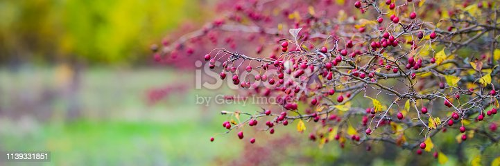 hawthorn branch with ripe red fruits. Autumn season. Web banner.