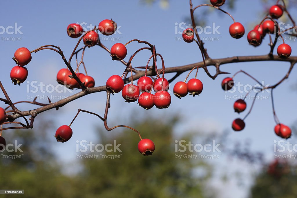 Early harvest hawthorn Crataegus species fruit red haw berries royalty-free stock photo