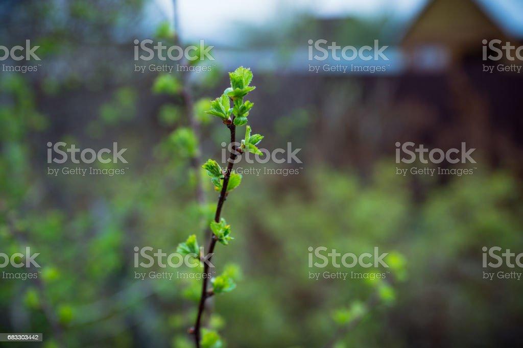 Hawthorn bush in the garden royaltyfri bildbanksbilder