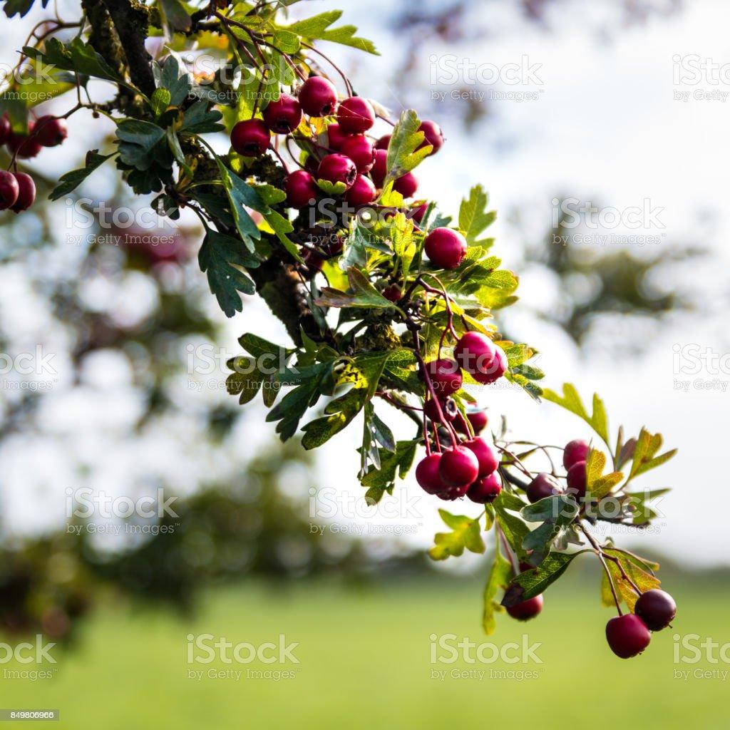 Hawthorn Bush Red Berries stock photo