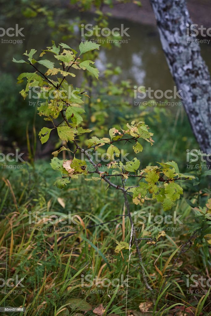hawthorn Crataegus sanguinea redhaw plant in autumn close up stock photo