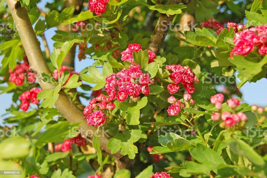 Hawthorn (Crataegus) flower stock photo