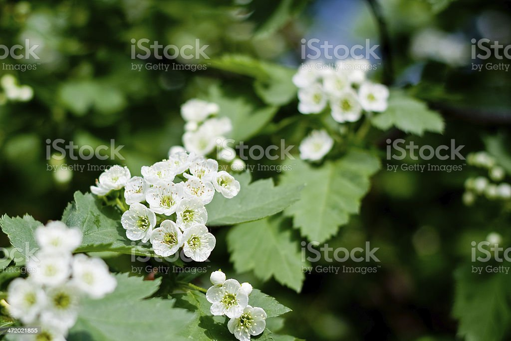 Hawthorn flowers blossoming royalty-free stock photo