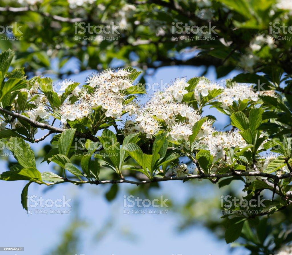Hawthorn Flowers stock photo