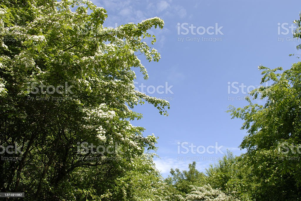 Hawthorn in May royalty-free stock photo