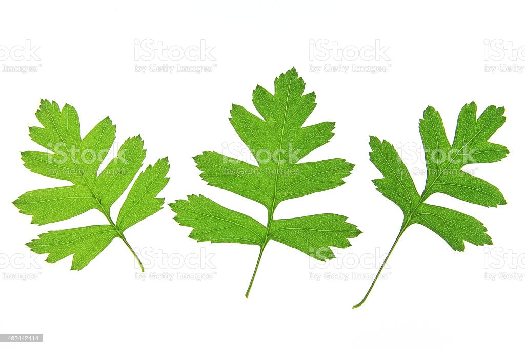 Hawthorn leaves (Crataegus) stock photo