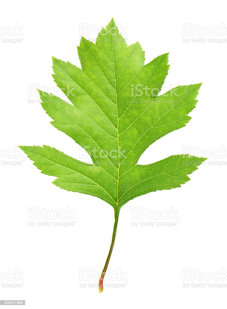 Hawthorn leaves stock photo