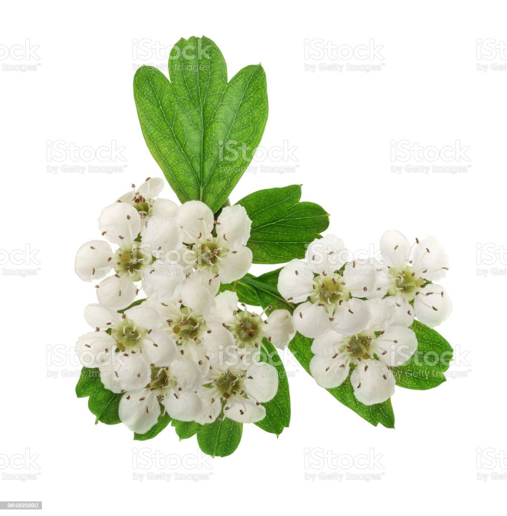 Hawthorn or Crataegus monogyna branch with flowers isolated on a white background royalty-free stock photo