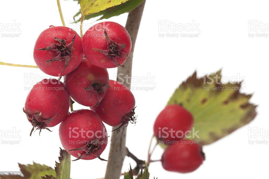 Hawthorn. royalty-free stock photo