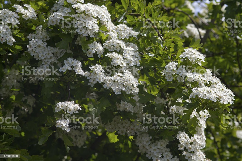 Hawthorn royalty-free stock photo