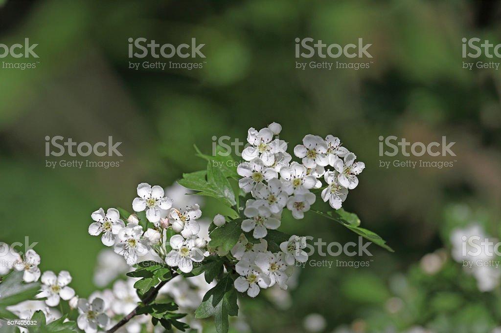 Weißdorn – Foto