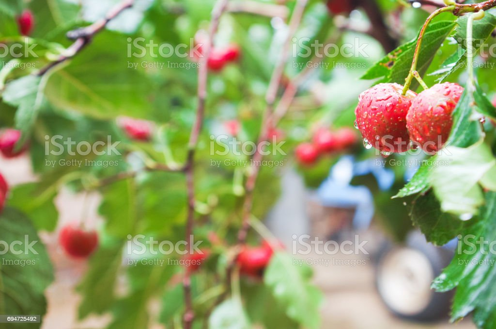 Hawthorn stock photo