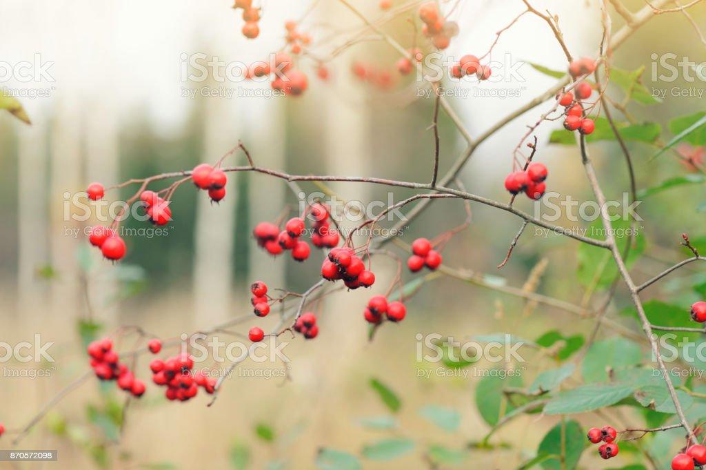 Hawthorn red berries stock photo