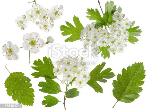 Hawthorn spring flowers bunch and green leaf isolated on white background. Set for herbal medicine and honey plant