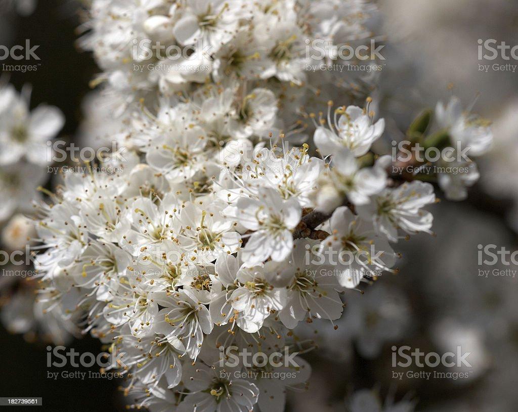 Hawthorn tree blossom royalty-free stock photo