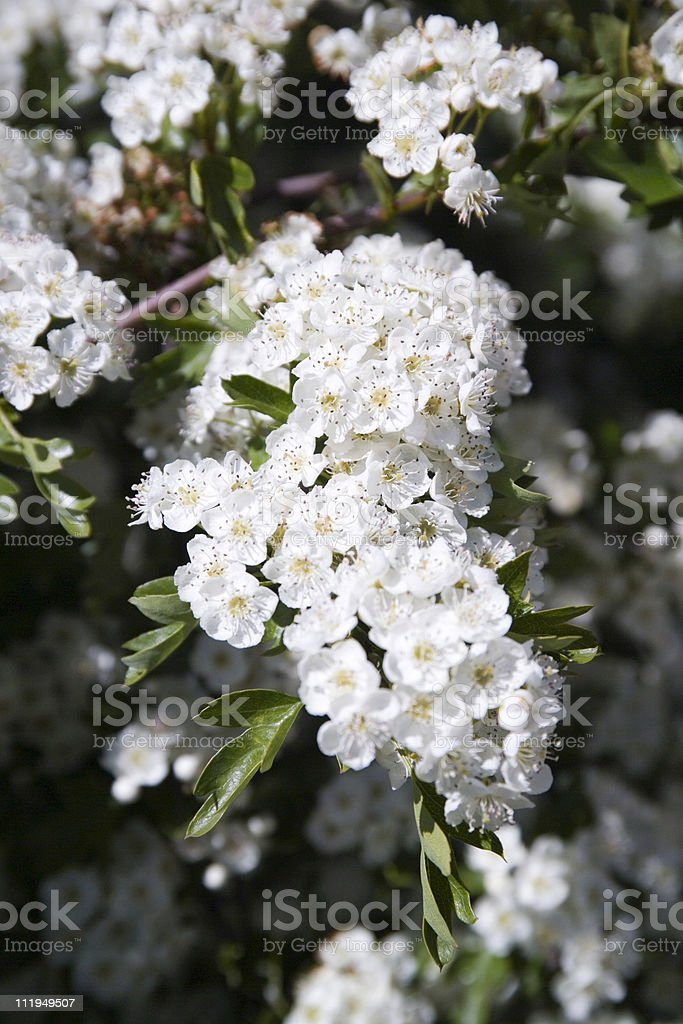 Hawthorn tree flowers royalty-free stock photo