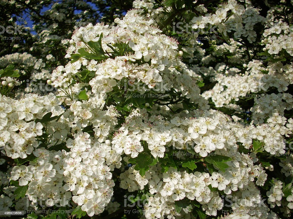 Hawthorn tree flowers stock photo
