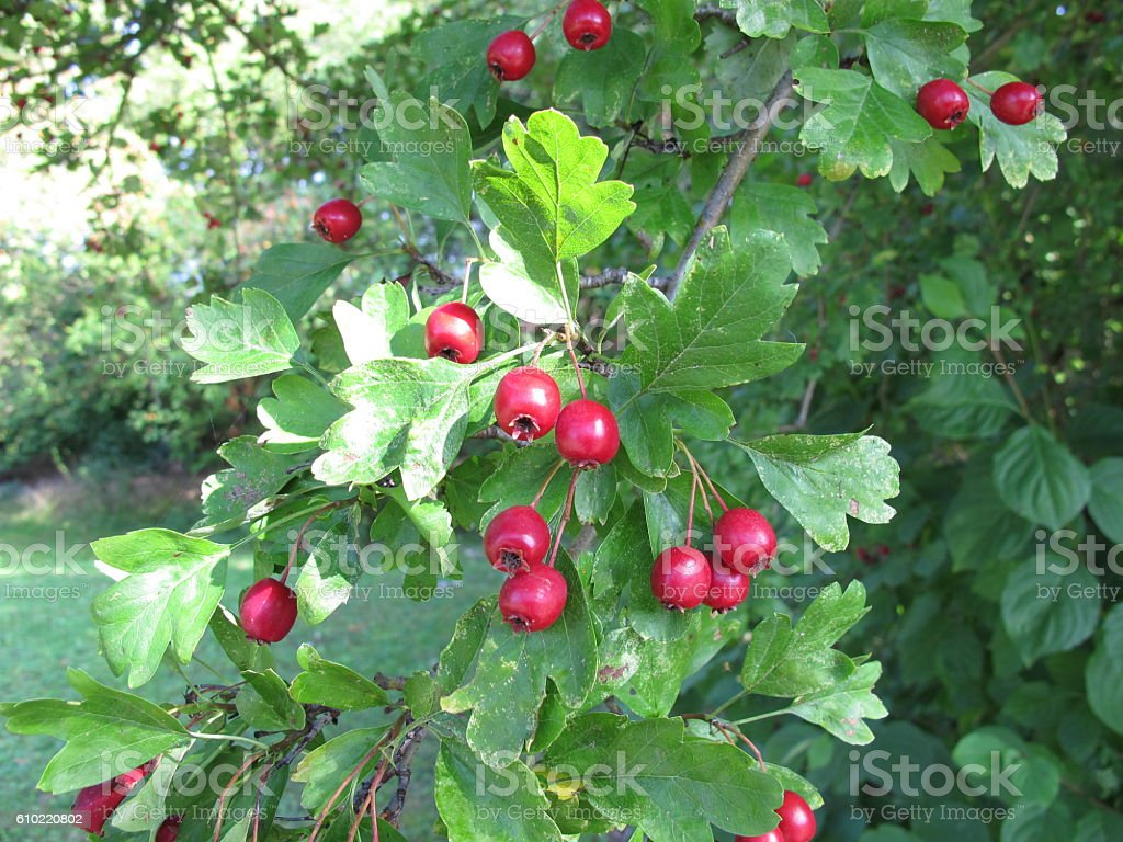 Hawthorn tree with red fruits stock photo