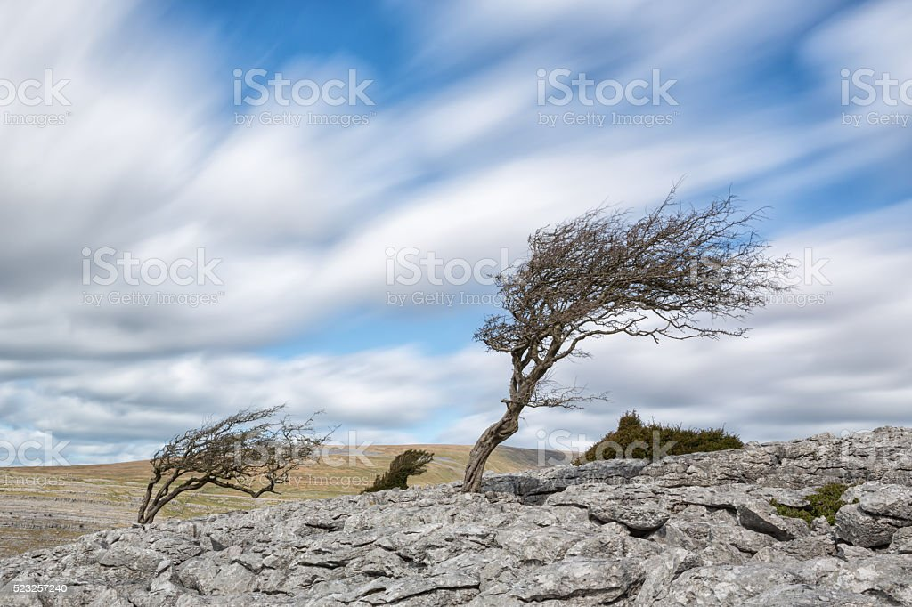 Hawthorn trees blown by a strong wind stock photo