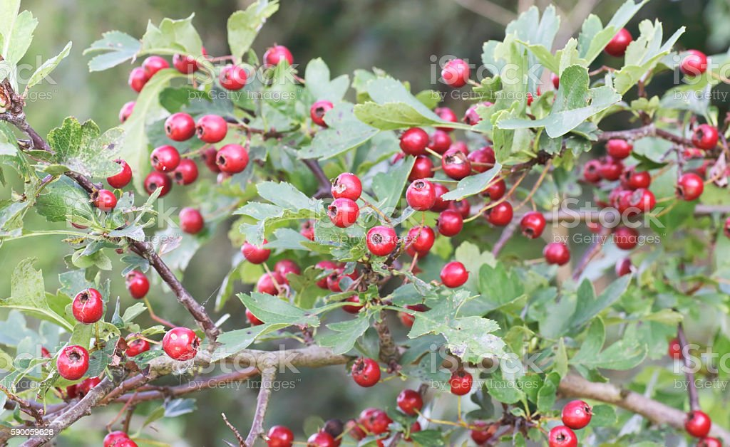 Hawthorn (Crataegus monogyna) with red berries stock photo