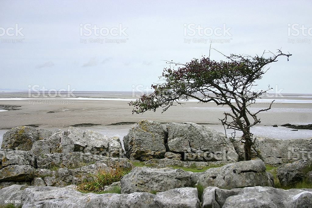hawthorne tree, twisted and weathered stock photo