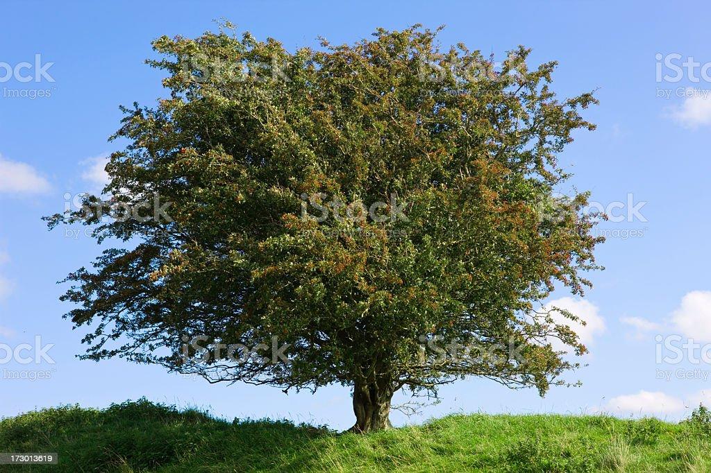 hawtorn tree royalty-free stock photo