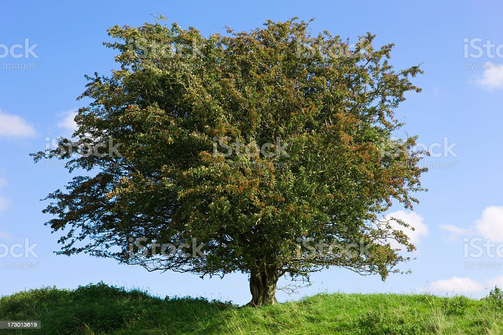 hawtorn tree stock photo