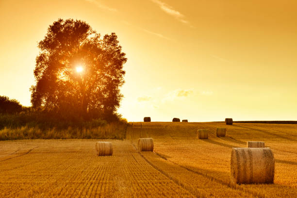 Hay Bales and Field Stubble in Golden Sunset Hay bales and field stubble in golden sunset. hay stock pictures, royalty-free photos & images