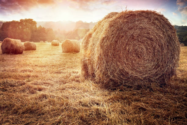 Hay bales in golden field at sunset Hay bales harvesting in golden field at sunset hay stock pictures, royalty-free photos & images