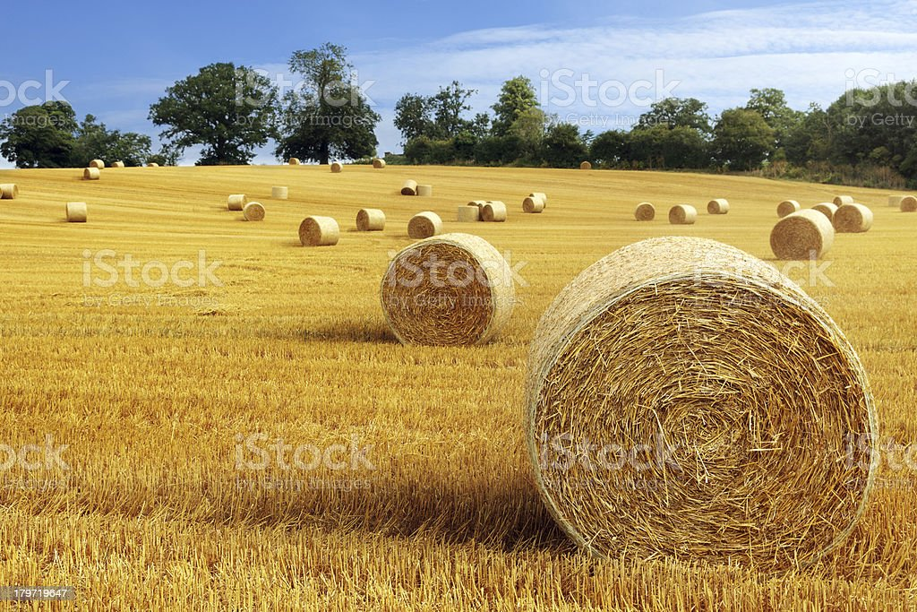 Hay bales in golden field royalty-free stock photo