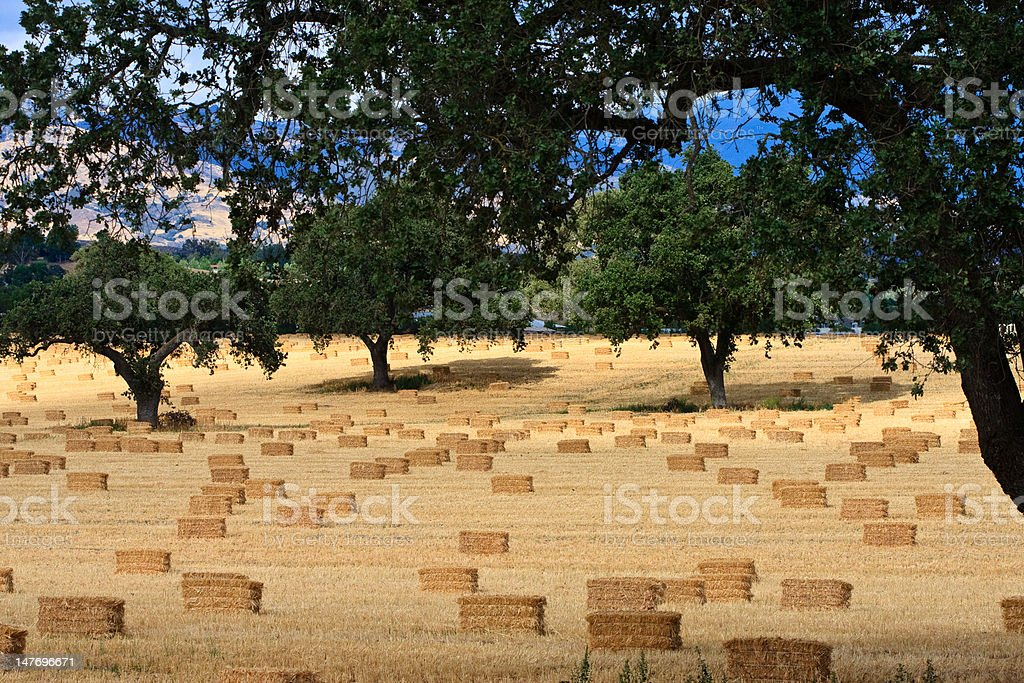hay bales in oak grove stock photo