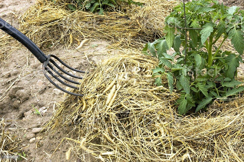 hay fork mulching tomato plants royalty-free stock photo