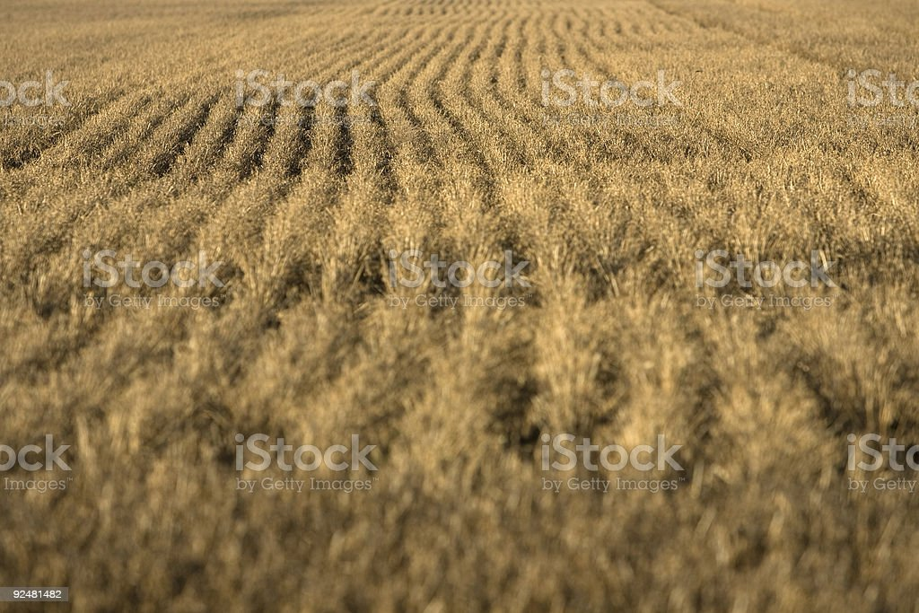 Hay growing in a field, Victoria, Australia royalty-free stock photo