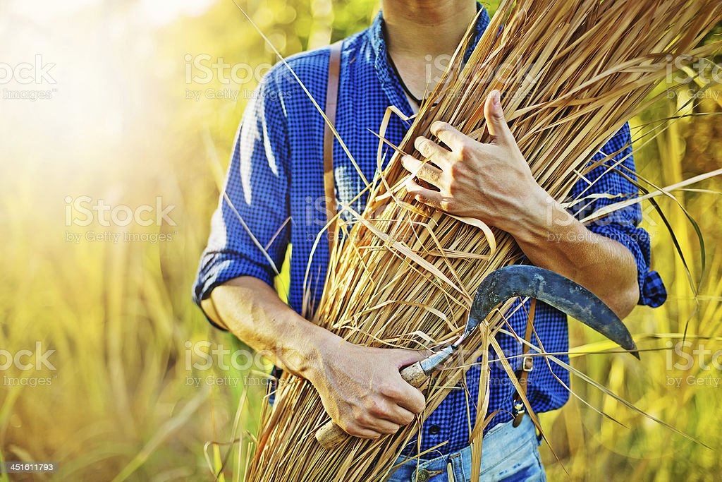 hay in farmer's hands stock photo