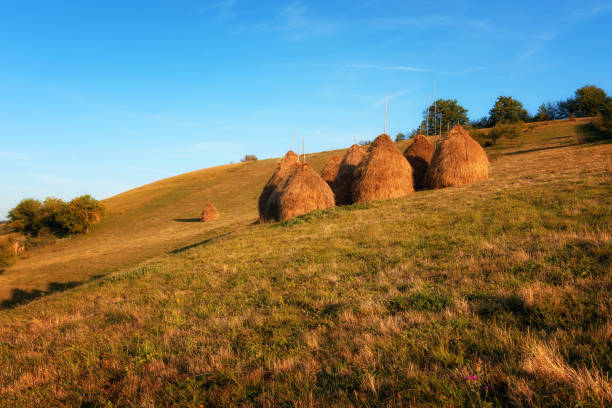 Hay piles on field at countryside in autumn. Heap of haystack with green grass and trees on background. Straw on farm. Stack for animal feeding in countryside. Magnificent rural scene. stock photo