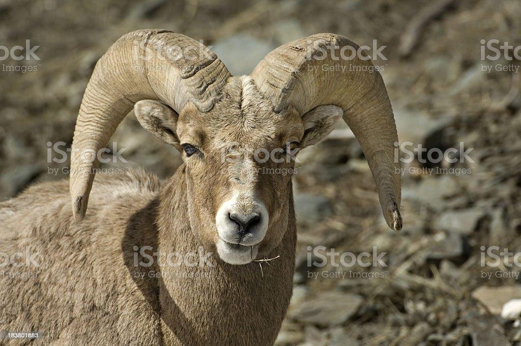 Hayseed Sheep royalty-free stock photo