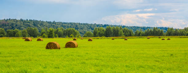 Haystacks on a green field near the forest stock photo