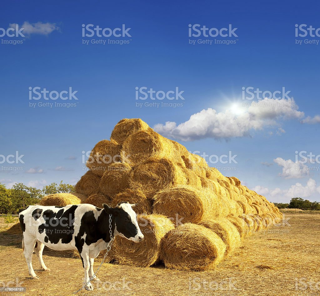 Haystacks on the field. royalty-free stock photo