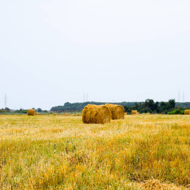 Haystacks rolled up in bales of alfalfa. Forage for livestock in stock photo