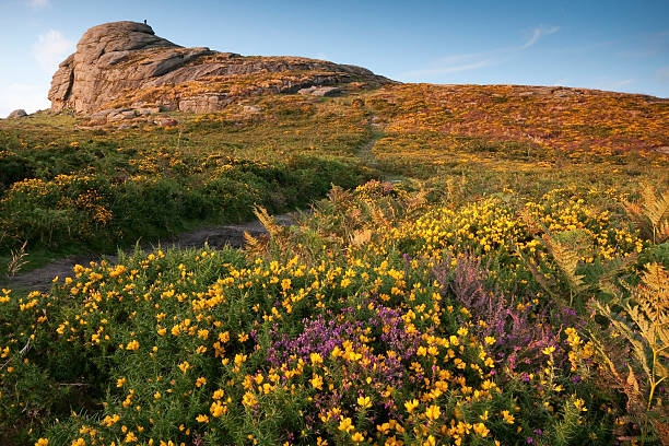 haytor on dartmoor, devon with gorse and heather blooming - outcrop stock pictures, royalty-free photos & images