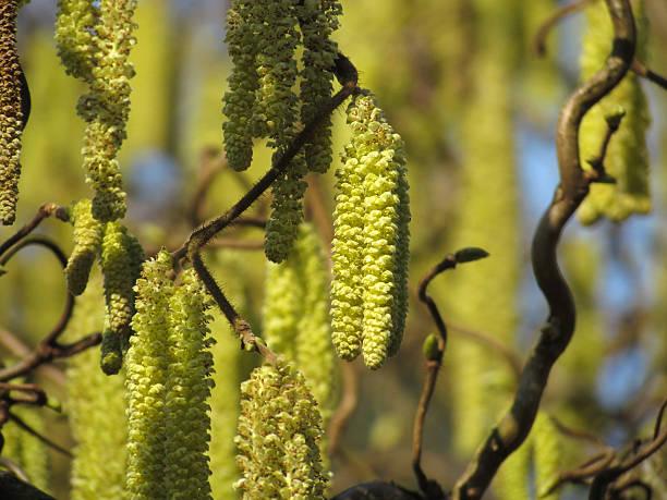 Hazel Blossom-Corylus avellana – Foto