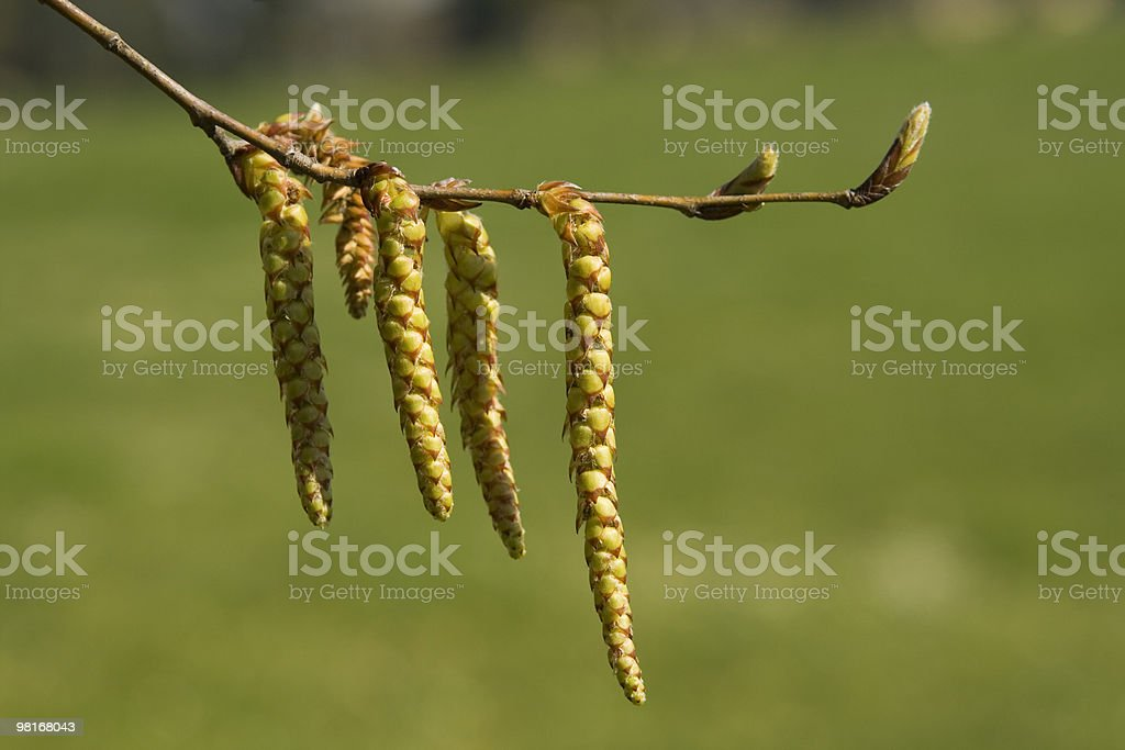 Hazel Catkins on a green background. royalty-free stock photo