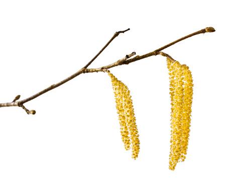 Hazelaar, pollen, hooikoorts