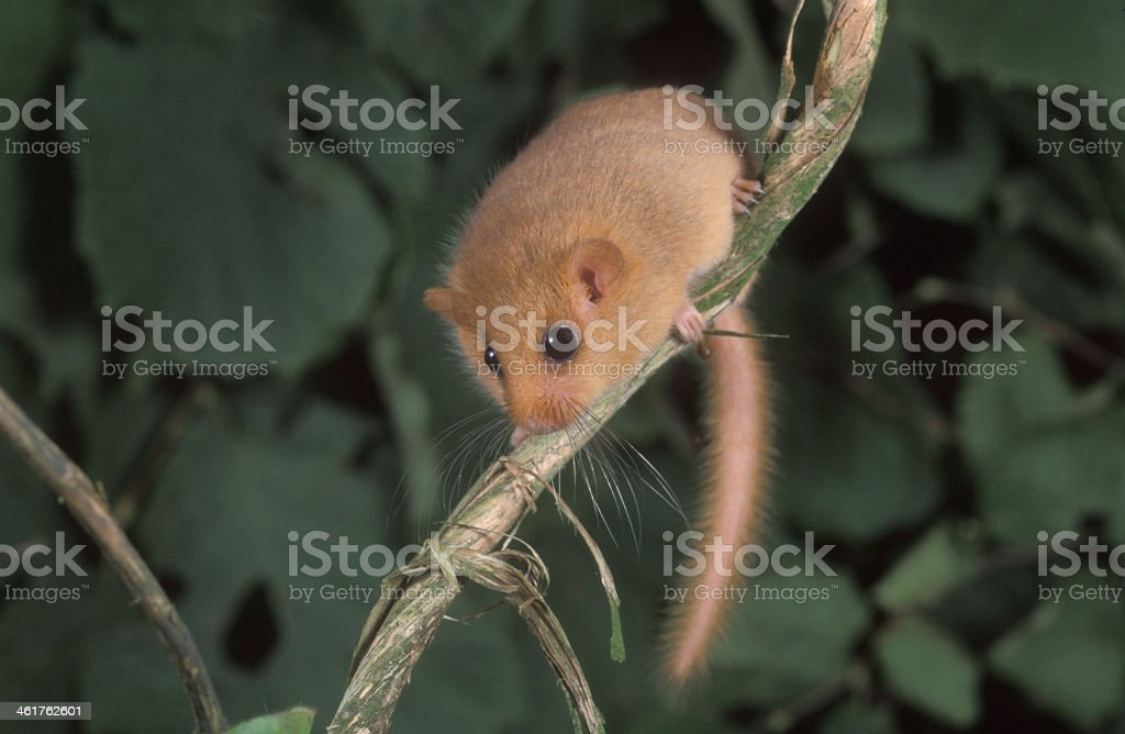 A hazel or common dormouse on a branch  stock photo