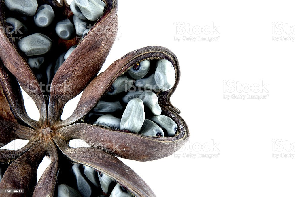 Hazel sterculia or tropical chestnut royalty-free stock photo