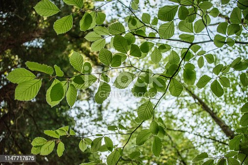 A large amount of green hazel tree leaves in a forest
