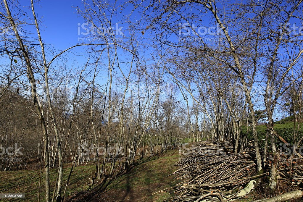 Hazel Tree stock photo