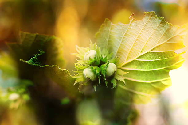hazelnut autumn macro - haselnuss baum stock-fotos und bilder