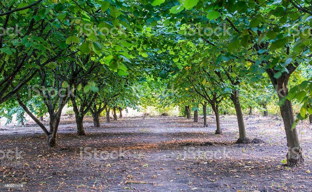 Hazelnut tree stock photo